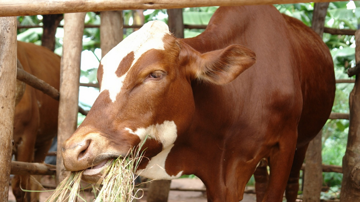 Feed and forage development | International Livestock Research Institute